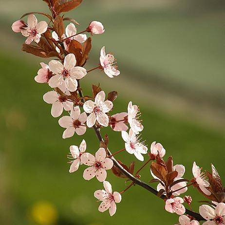 桜 par Olivier Bacquet. CC BY, source Flickr
